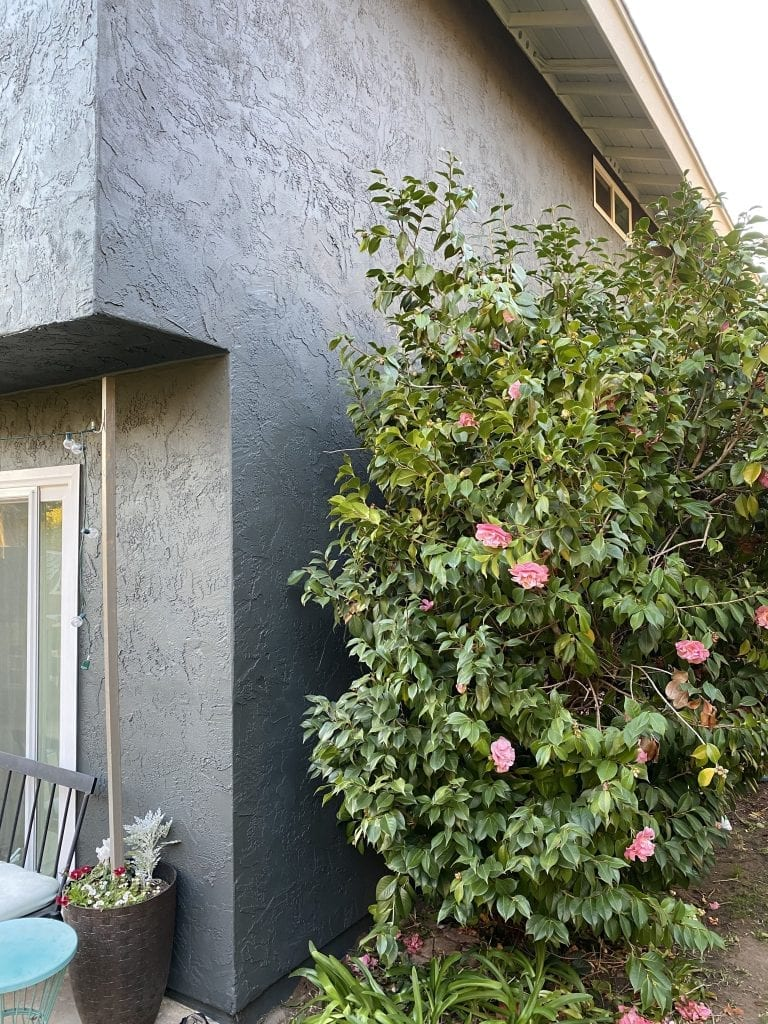 Exterior house paint transformation. Dark house against pink flowering bush.