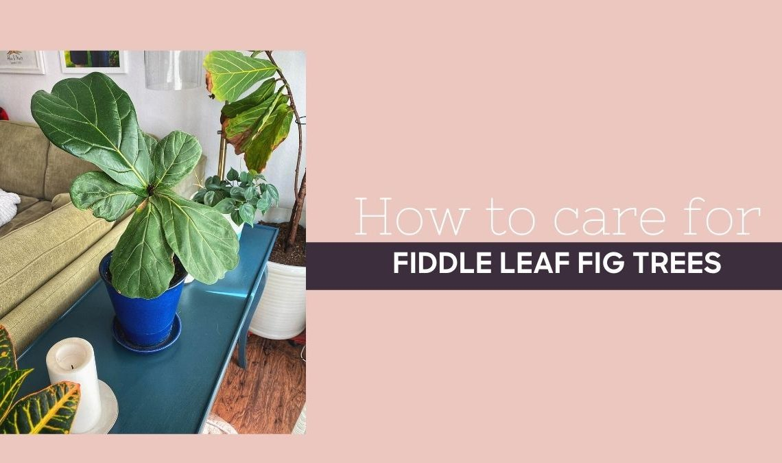 Healthy Fiddle Leaf Fig Tree